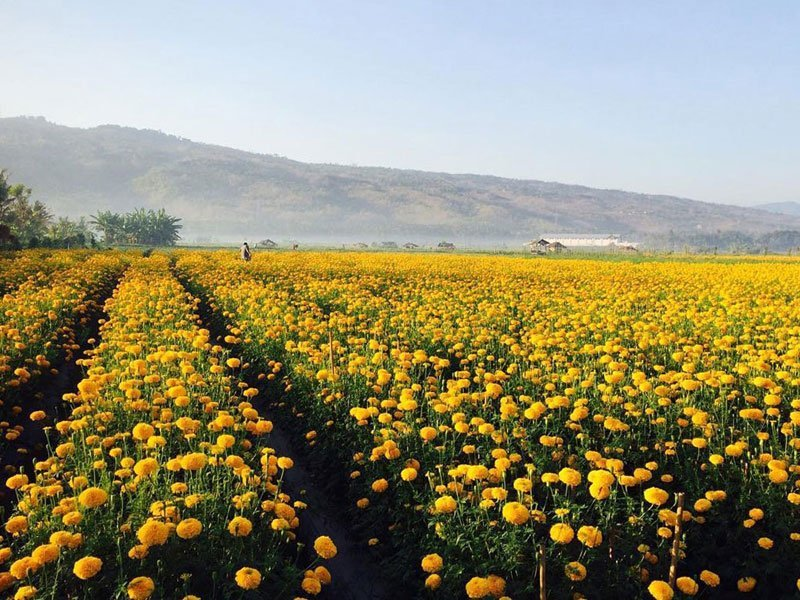 Tips to Visit Marigold Field - Petang Marigold Field, the Flowery Heaven in Bali - indonesia.tripcanvas.co